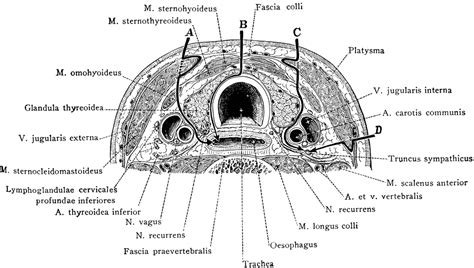 cross section of neck cross section of neck at the 7th cervical vertebra