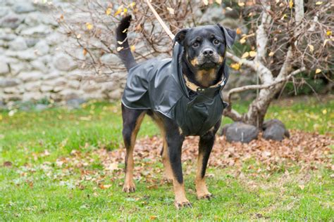how much walking does a rottweiler need walking the in the cold and