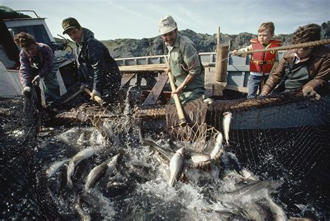 commercial fishing boats for sale in newfoundland young and old help with inshore netting of codfish on a