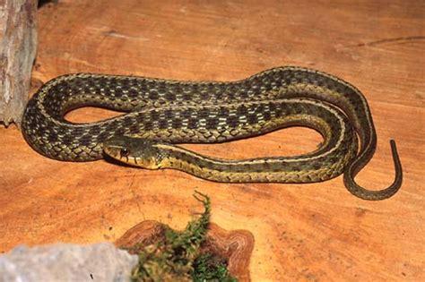 Garter Snake Va Reptile Hibian Landfall