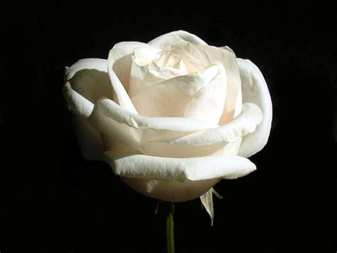 gambar wallpaper bunga mawar putih gambar bunga mawar putih pernik dunia