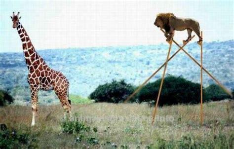 imagenes graciosas jirafas jirafas graciosas imagui