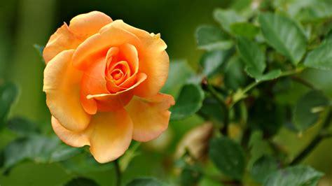Peach Rose 1080p Flowers HD Wallpaper wallpapers at