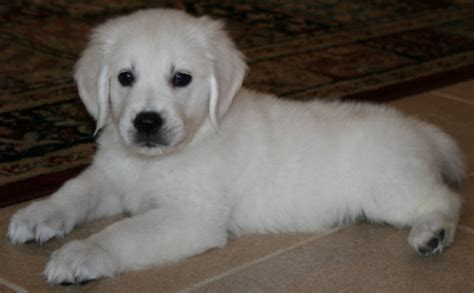 golden retriever puppies for sale new jersey white golden retriever puppies for sale nj dogs in our photo