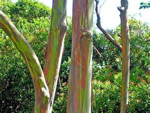 rainbow trees nature blows my mind rainbow colored trees grow over 200