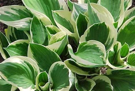 What Are The Gardening Zones - hosta patriot plantain lily