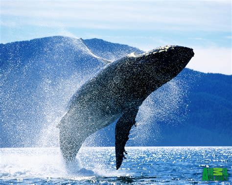 wallpaper blue whale whales wallpapers wallpapers