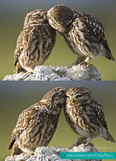 Owl Lovers by Daily Paws Picture Of The Day Cute Owl Love Daily Paws