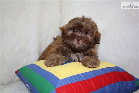 keloland puppies akc teddy 65000 shipping included breeds picture