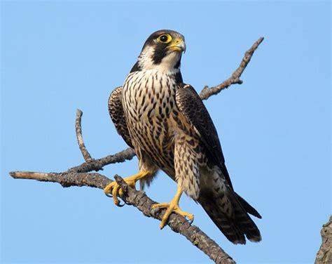 falco pellegrino alimentazione falco pellegrino il rapace pi 249 veloce al mondo