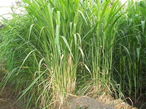 menanam budidaya rumput gajah pertanian