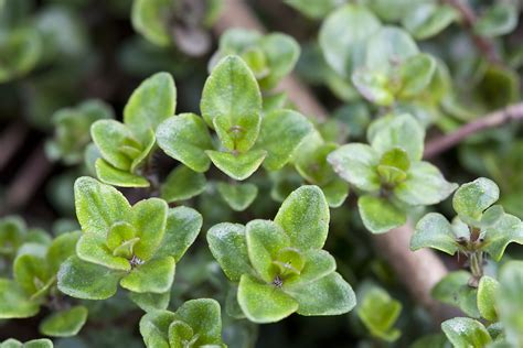 how to grow thyme harvest to table