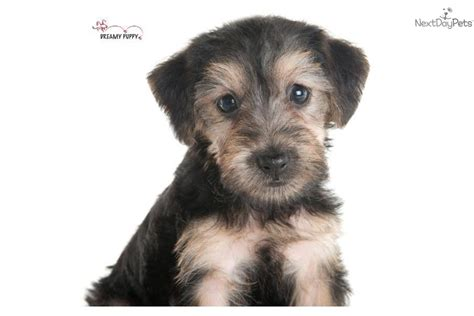 are yorkie poos hypoallergenic meet a yorkiepoo yorkie poo puppy for sale for 899 adorable yorkiepoo