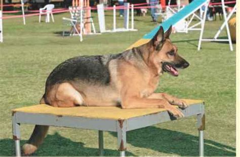 How To Stop German Shepherd From Shedding by Shepherd Breeds And Varieties Obedience Guides