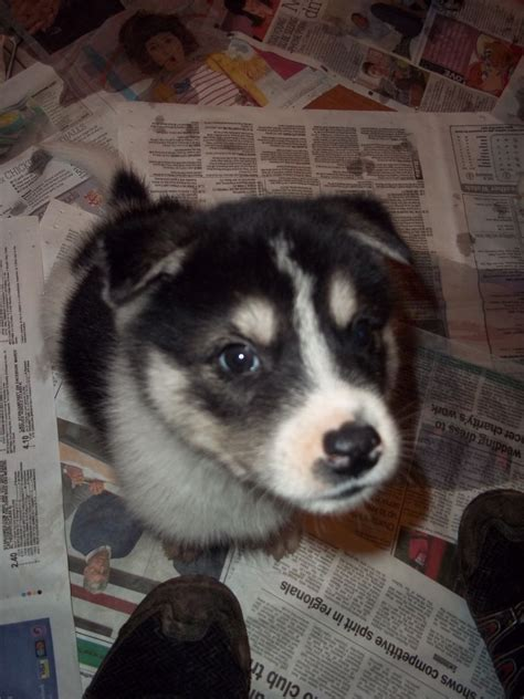 husky inu puppies for sale akita husky mix www imgkid the image kid has it