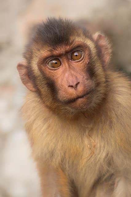 macaque monkey primary  photo  pixabay