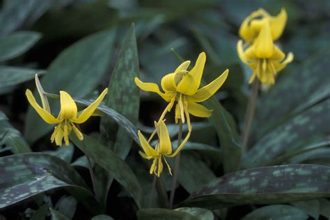 green shrub with yellow flowers file trout plant erythronium americanum with yellow