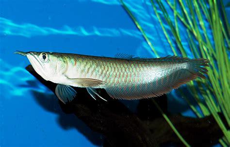 Set Silver Ikan arowana medium size beautiful