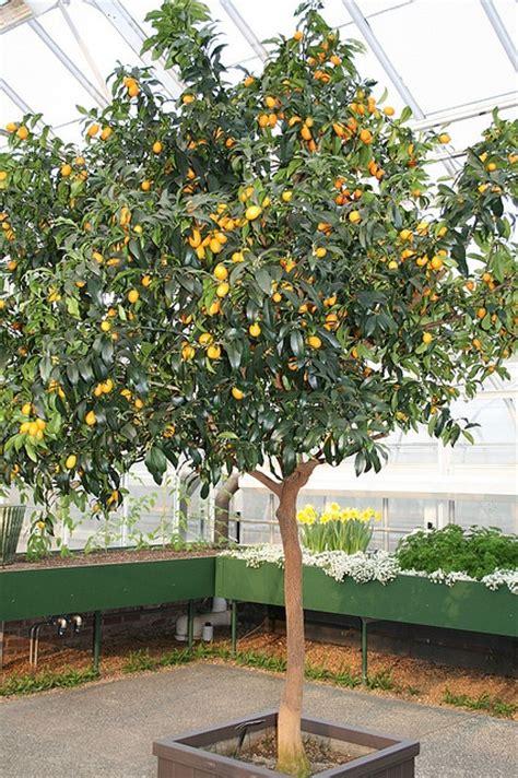 kumquat tree by dianthusmoon via flickr outside