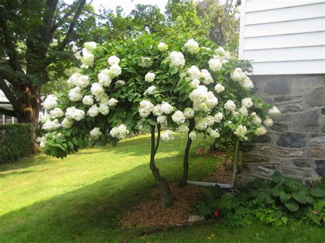 hydrangea tree sort 2 pinterest