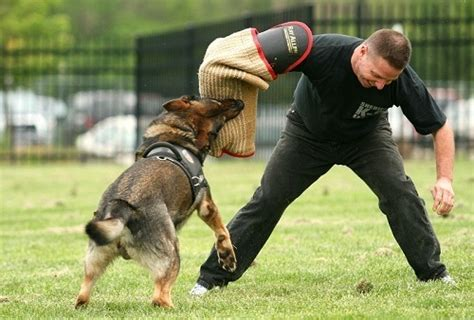 how are k9 dogs trained when your german shepherd puppy is biting and nipping try this shepped