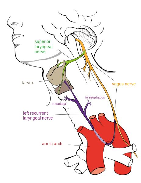 diagram of the vagus nerve cranial nerves boundless anatomy and physiology