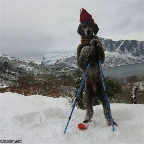 dogs on skis the ski
