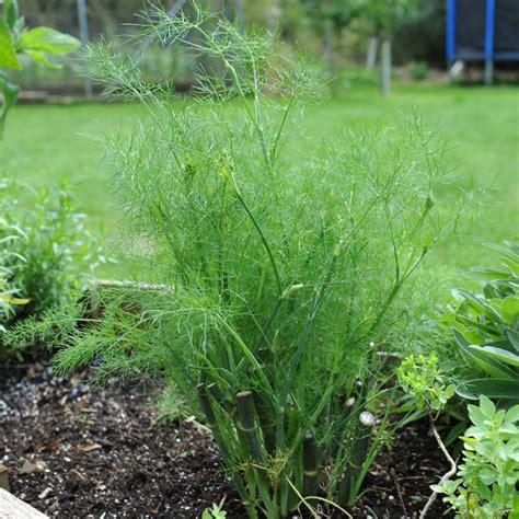tanaman adas  manfaatnya  kesehatan andamediatani