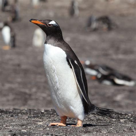 File:Gentoo Penguin on Saunders Island (5551665205).jpg ...