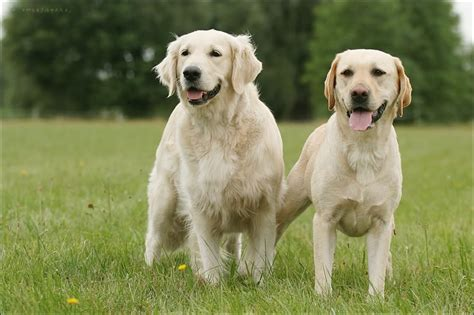 compare golden retriever and labrador retriever golden retriever vs labrador retriever difference and comparison breeds picture