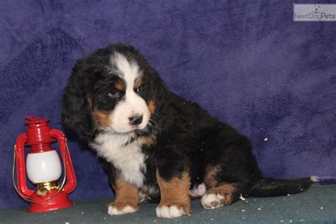 bernese mountain puppies for sale near me bernese mountain puppy for sale near lancaster pennsylvania 3a393fd9 1bb1
