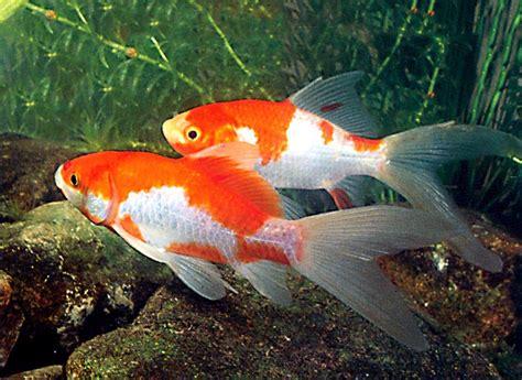 vasca pesce rosso pesce rosso sarasa angoli di natura