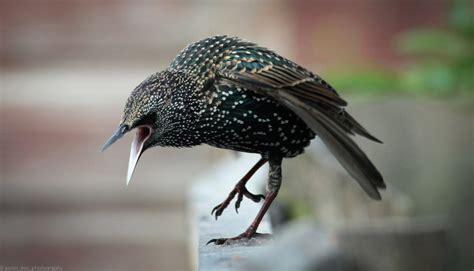 starling mimicry birdnote