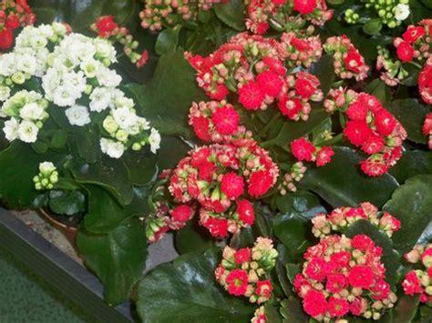 flowering house plants flowering house plants