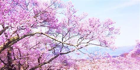 fiori di ciliegio giapponesi ciliegio giapponese piante da giardino coltivare ciliegio