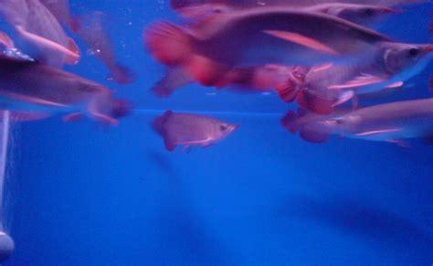Bibit Arwana Jogja ikan hias foto bibit ikan arwana