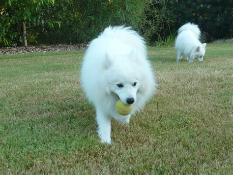 Do Japanese Spitz Shed by Japanese Spitz Puppies Rescue Pictures Information