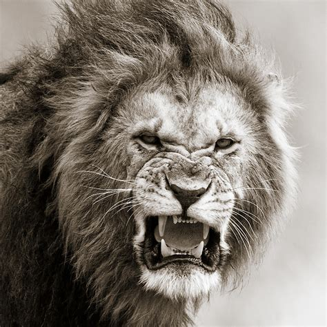 lion wallpaper pinterest male lions roaring wallpaper google search персонажи