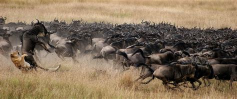 how to create african safari home d 233 cor home interior design safari vacations africa great migration south africa