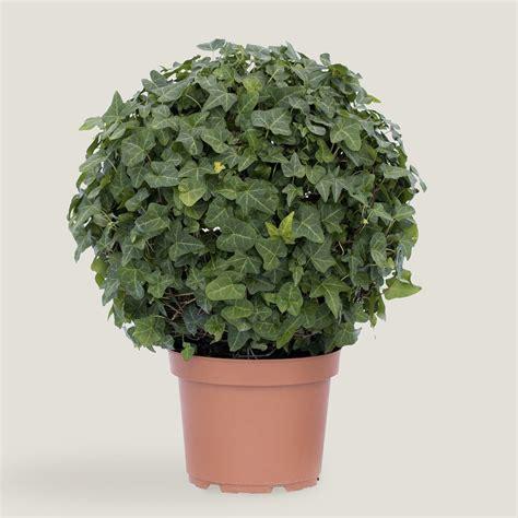 small live ivy globe topiary world market