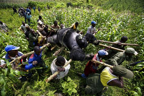 the official site of virunga national park gorilla and