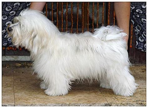 havanese do they shed spinoff what of do you curltalk