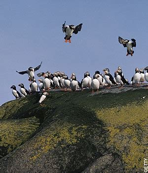 Biojanna 6 By A D Bird orkney puffin birds