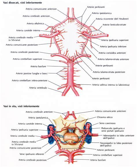 arteria carotide interna poligono di willis medicinapertutti it