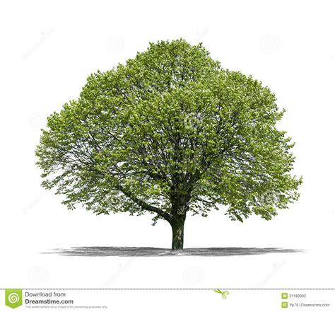 white or green tree green tree on a white background stock photos image