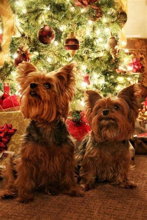 images of christmas yorkies yorkie christmas beauty of christmas ii pinterest