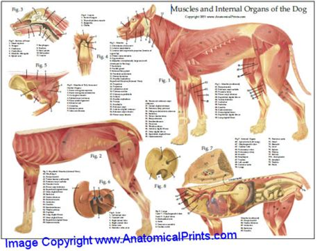 dogs anatomy anatomy chart muscles