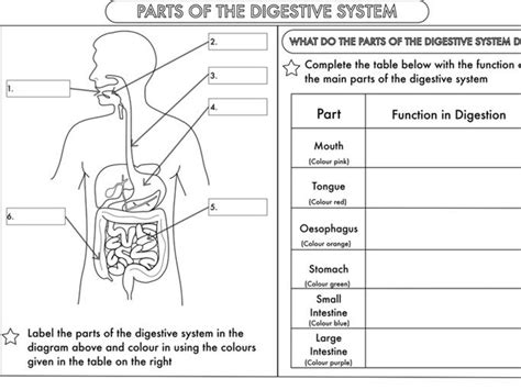 digestive system worksheet grade 4 year 4 science animals including humans digestion teeth and food chains worksheets by