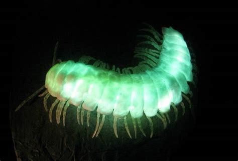 Glowing Animals bioluminescent land animals