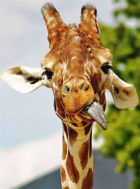Giraffe Birthday Meme - 17 best images about happy birthday on pinterest happy